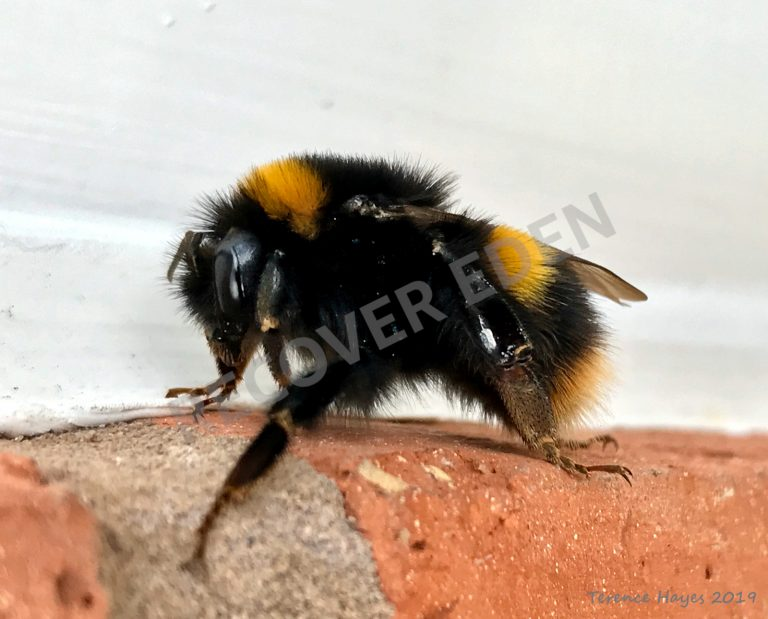 Bumble on Brick - Recover Eden